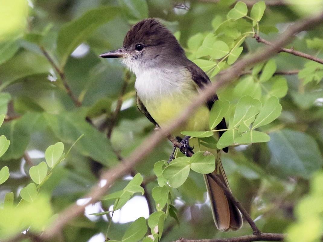 Grenada Flycatcher - Knut Hansen