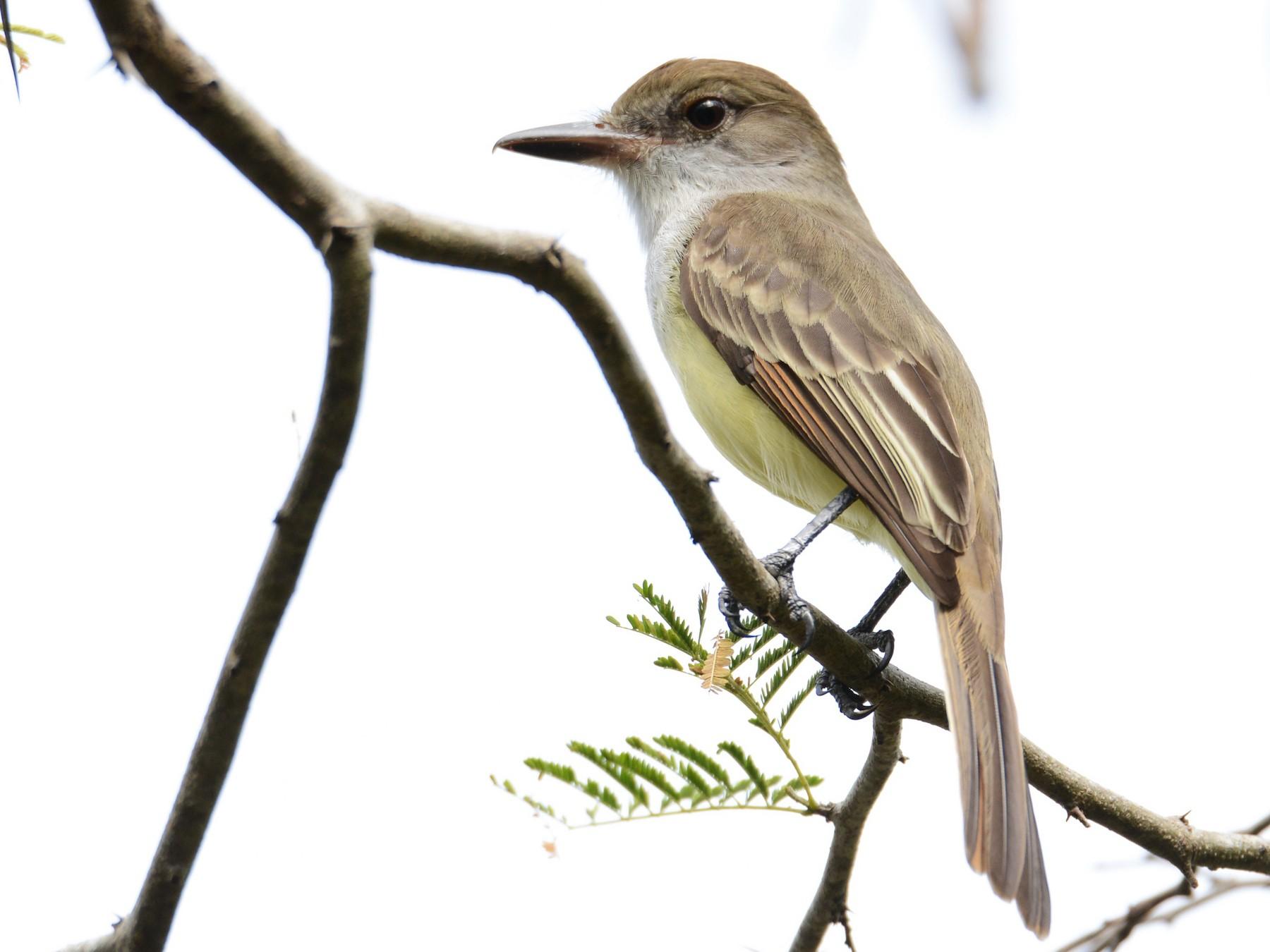 Grenada Flycatcher - Alan Van Norman