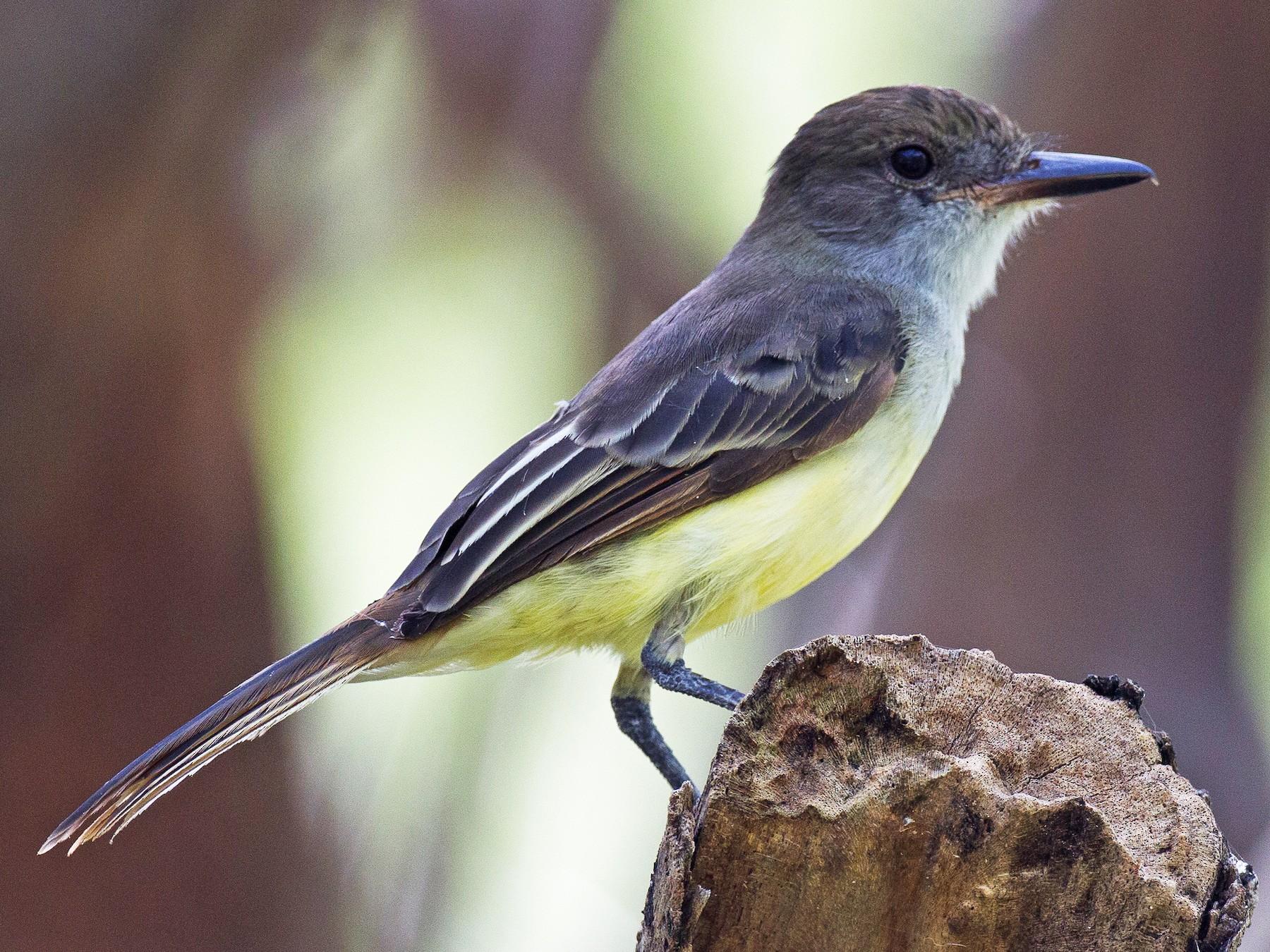 Grenada Flycatcher - Chris Wood