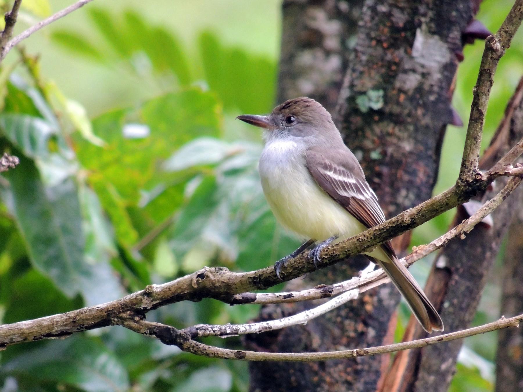 Grenada Flycatcher - Ginny Culver
