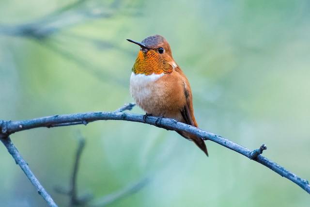 ©Don Danko - Rufous Hummingbird