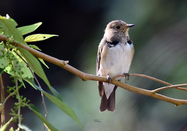©mathew thekkethala - Blue-and-white Flycatcher