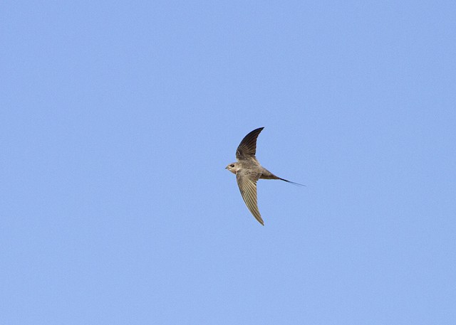 African Palm-Swift (African)
