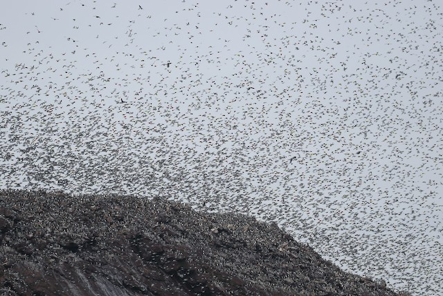 Large colony flushed by Bald Eagles (<em>Haliaeetus leucocephalus</em>).
