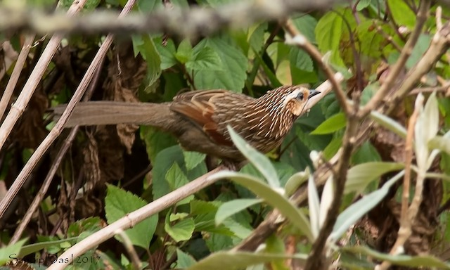 Striped Laughingthrush