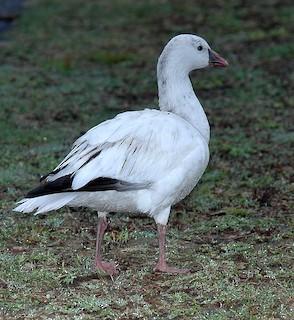Ross's Goose, ML106405261
