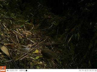 Tawny-breasted Tinamou, ML106484051
