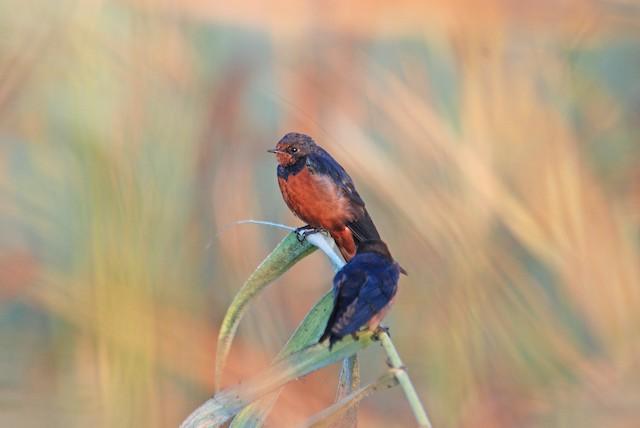 Barn Swallow (Egyptian)