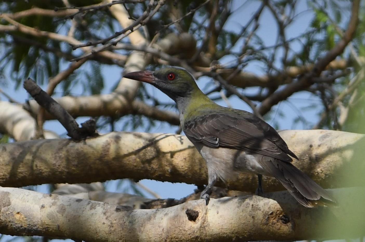 Timor Oriole - Rick Jacobsen