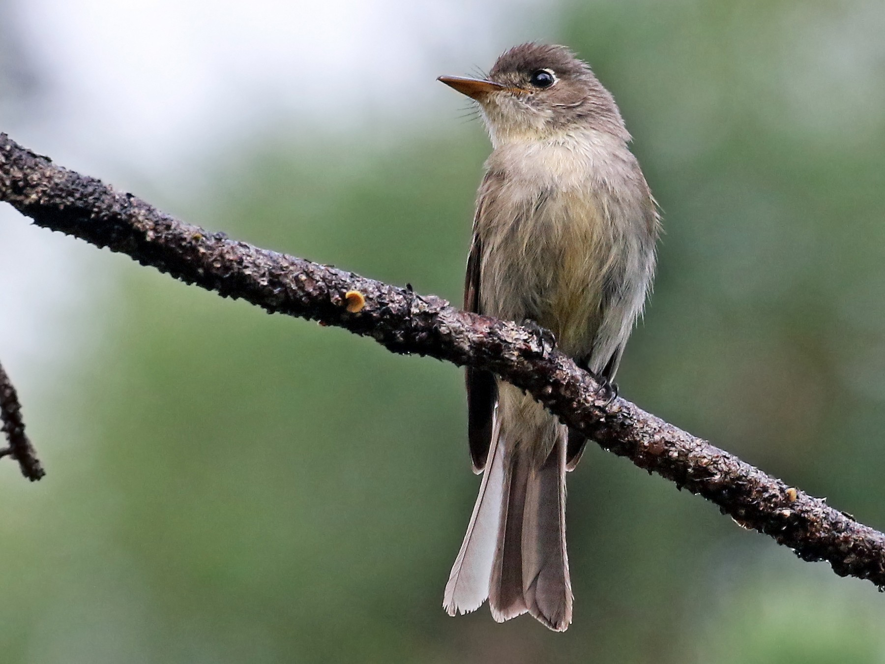 Cuban Pewee - Andrew Spencer