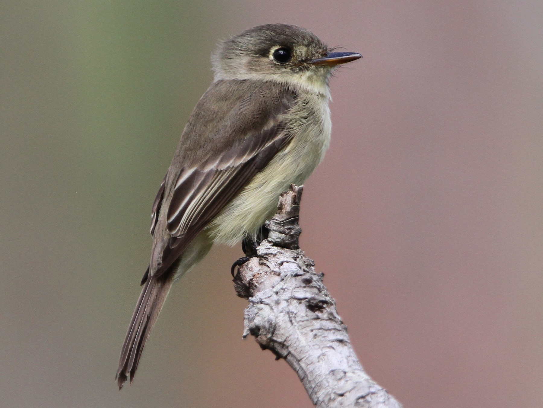 Cuban Pewee - Christoph Moning