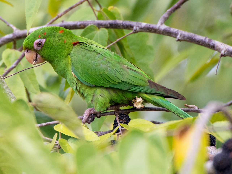 Cuban Parakeet - Jean-Sébastien Guénette