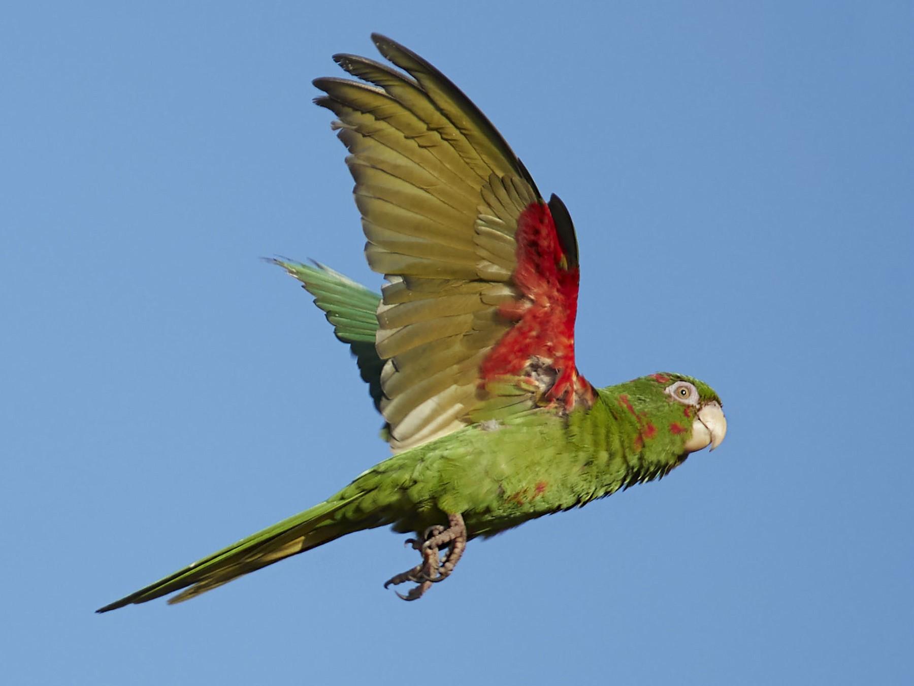 Cuban Parakeet - Arturo Kirkconnell Jr
