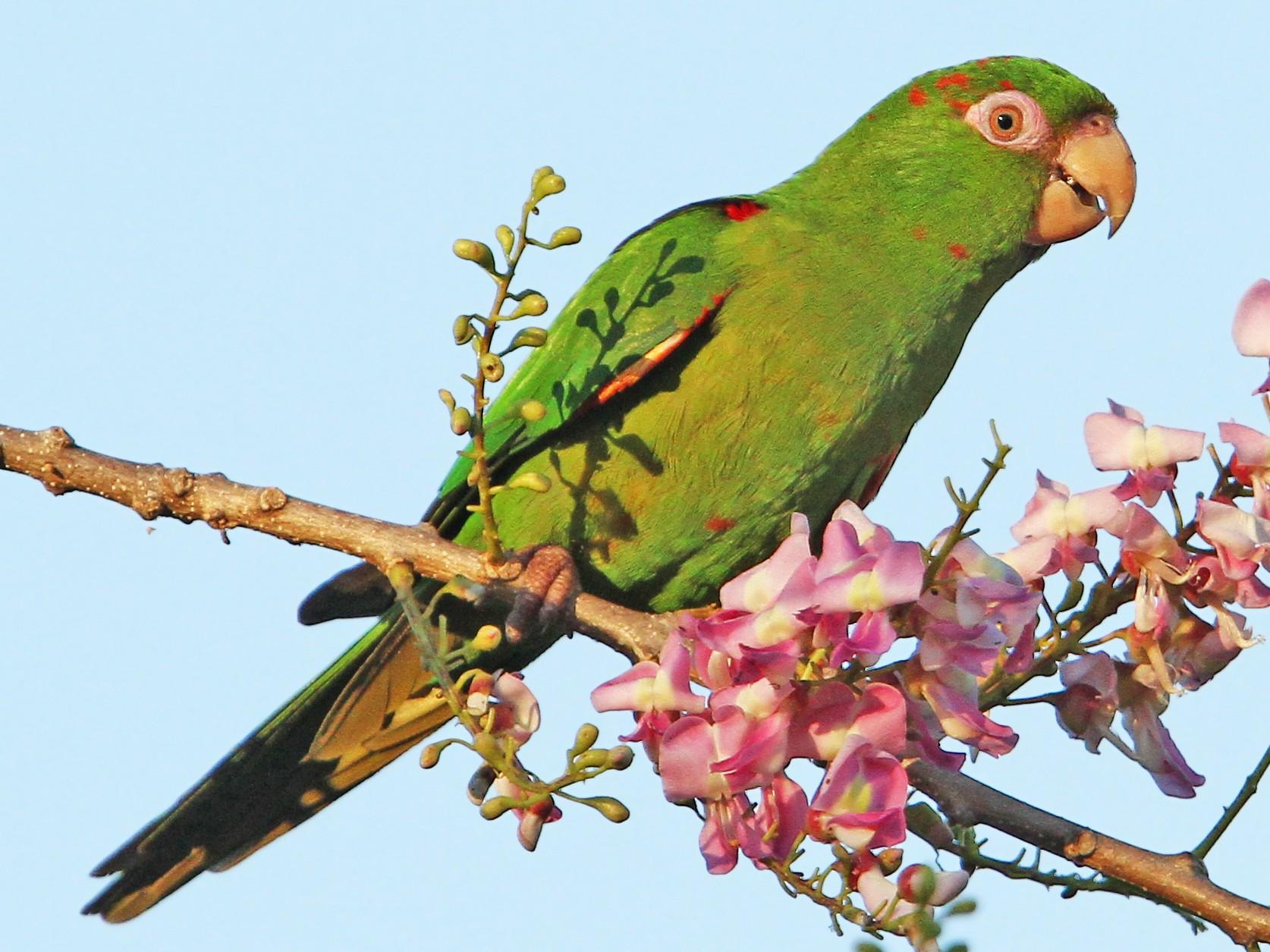 Cuban Parakeet - Christoph Moning