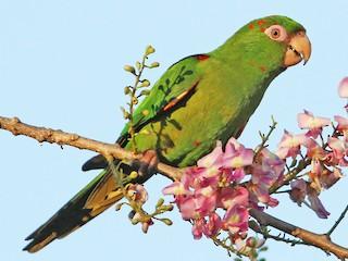 - Cuban Parakeet