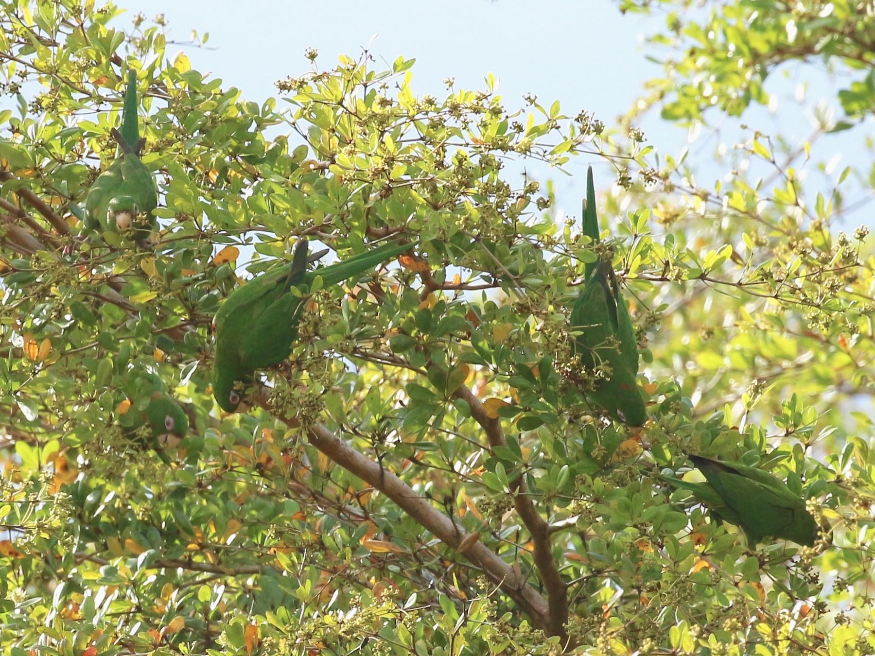 Cuban Parakeet - Linette Mansberger