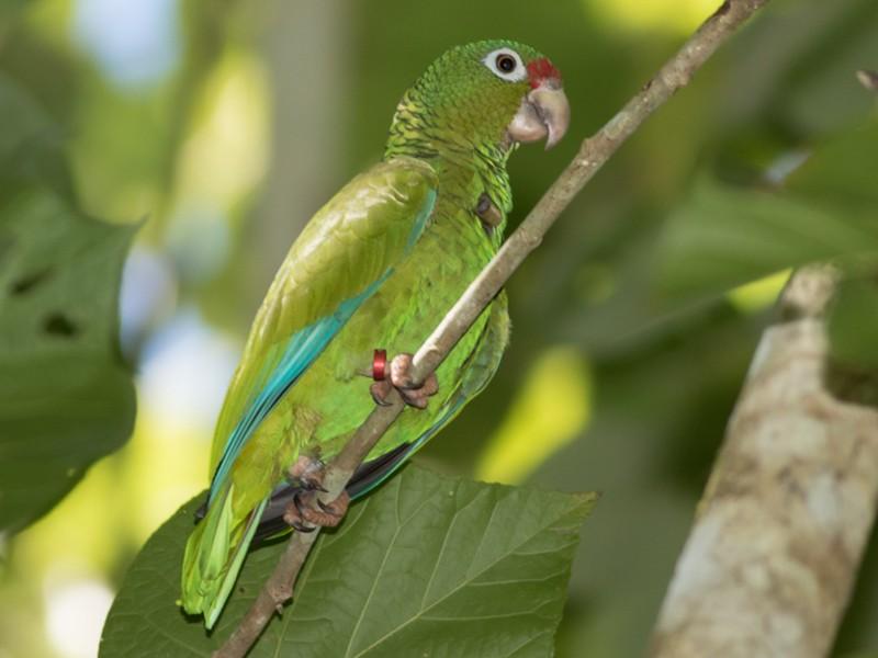 Puerto Rican Parrot - Tom Johnson
