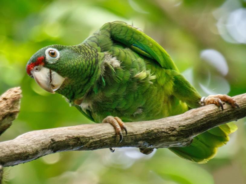Puerto Rican Parrot - Gloria Archilla