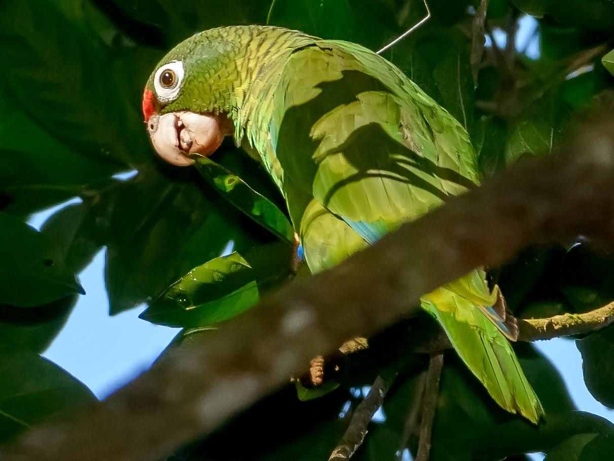 Puerto Rican Parrot - Benny Diaz