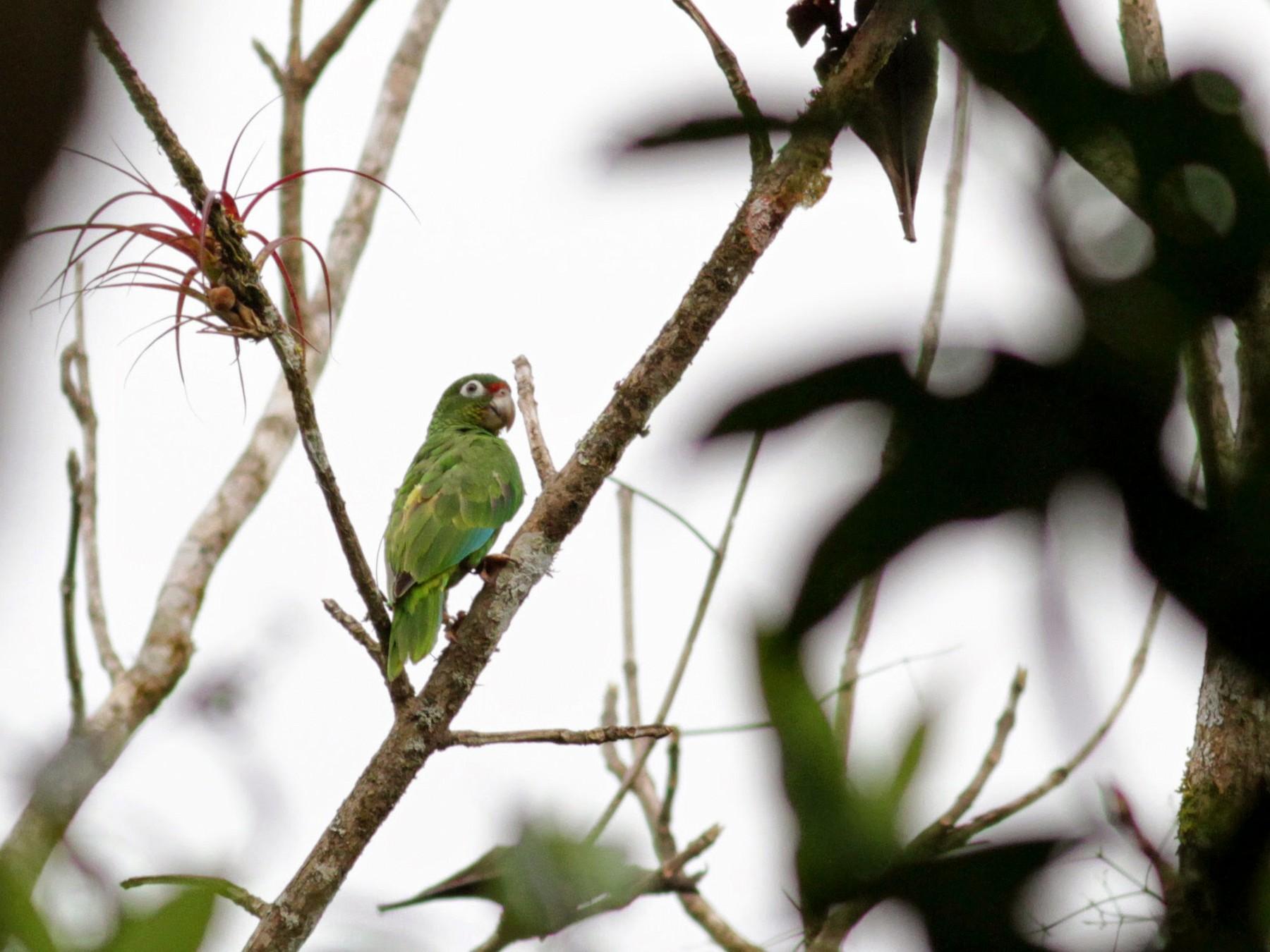 Puerto Rican Parrot - Jay McGowan