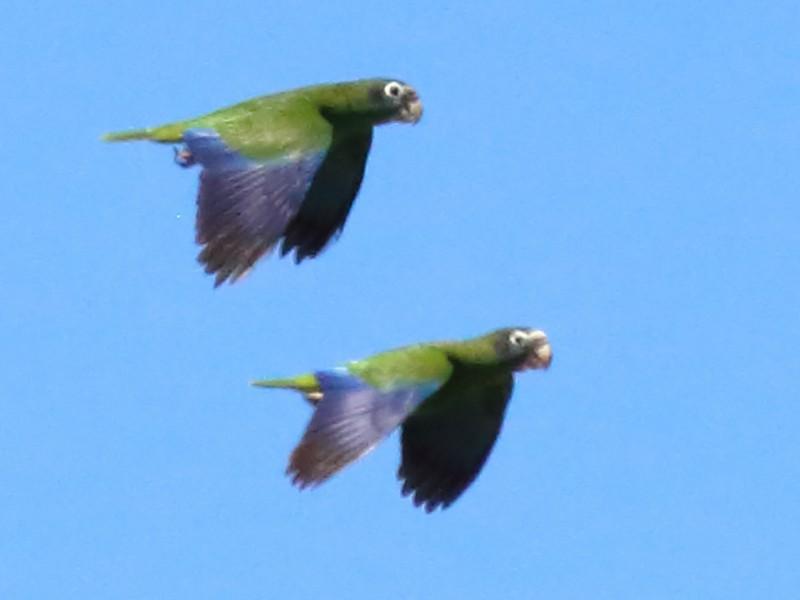 Hispaniolan Parrot - Rick Folkening
