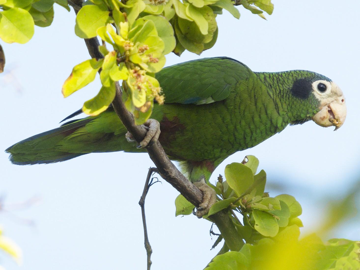 Hispaniolan Parrot - Marcelo Allende