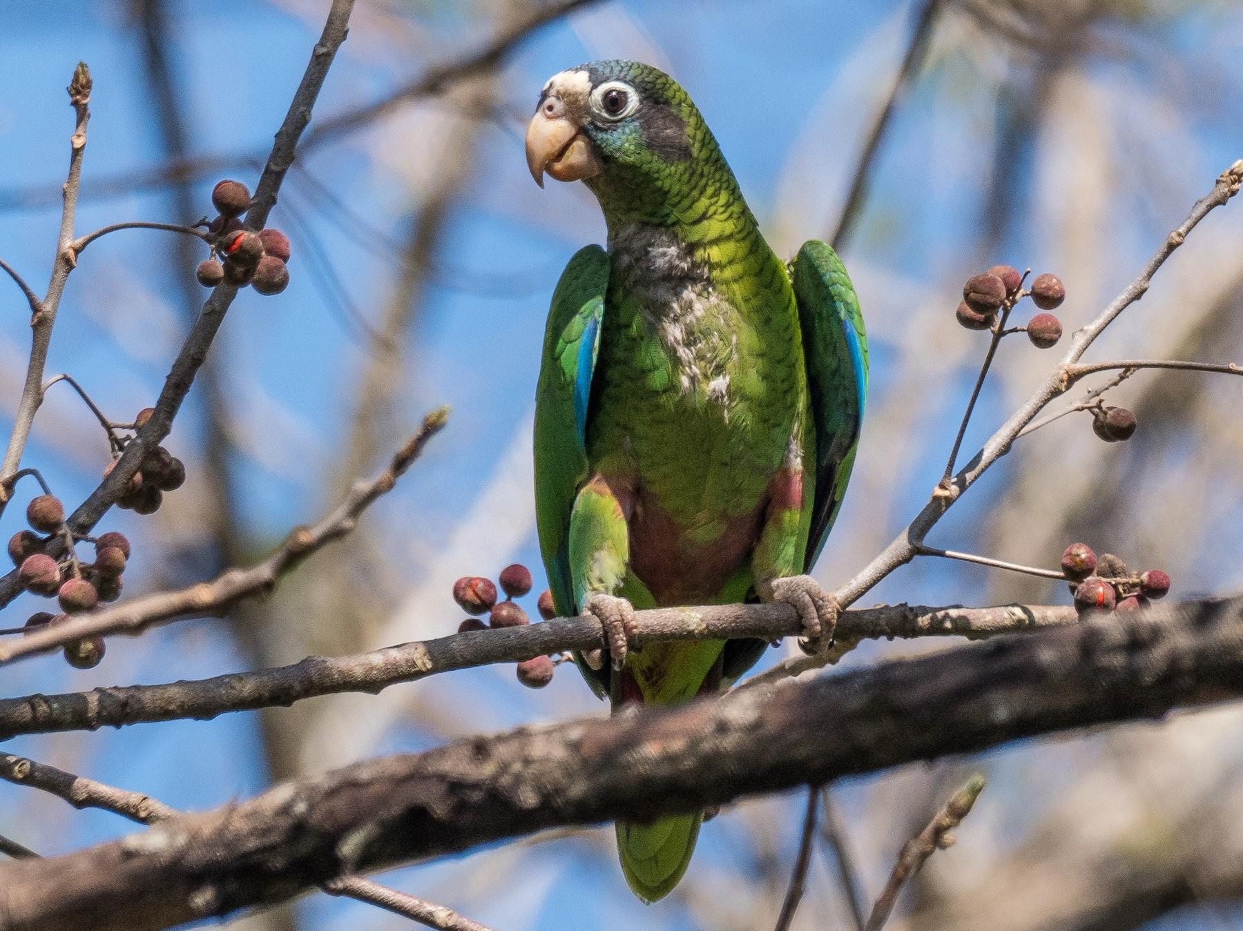 Hispaniolan Parrot - James Moore
