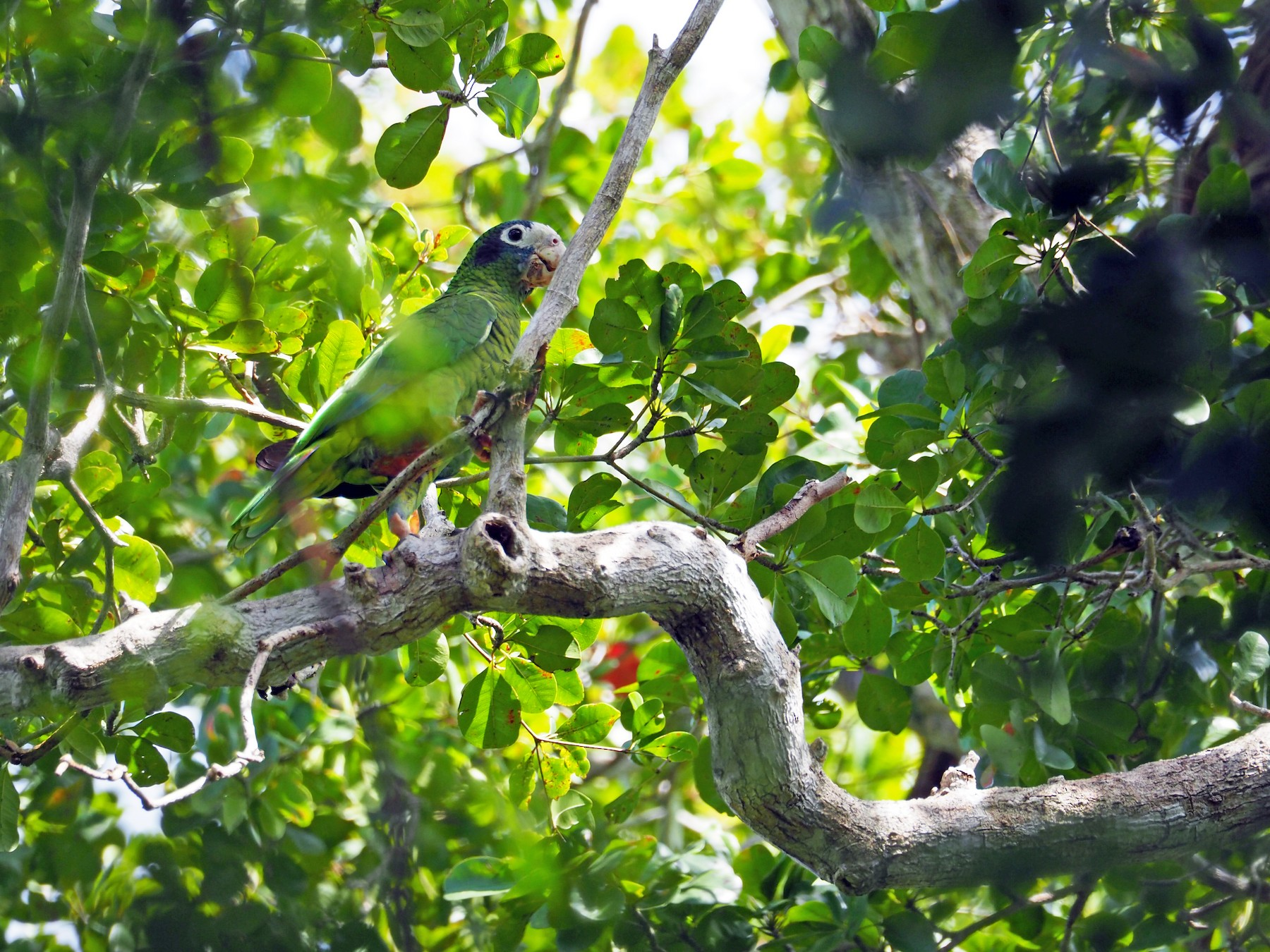 Hispaniolan Parrot - Sarah Preston