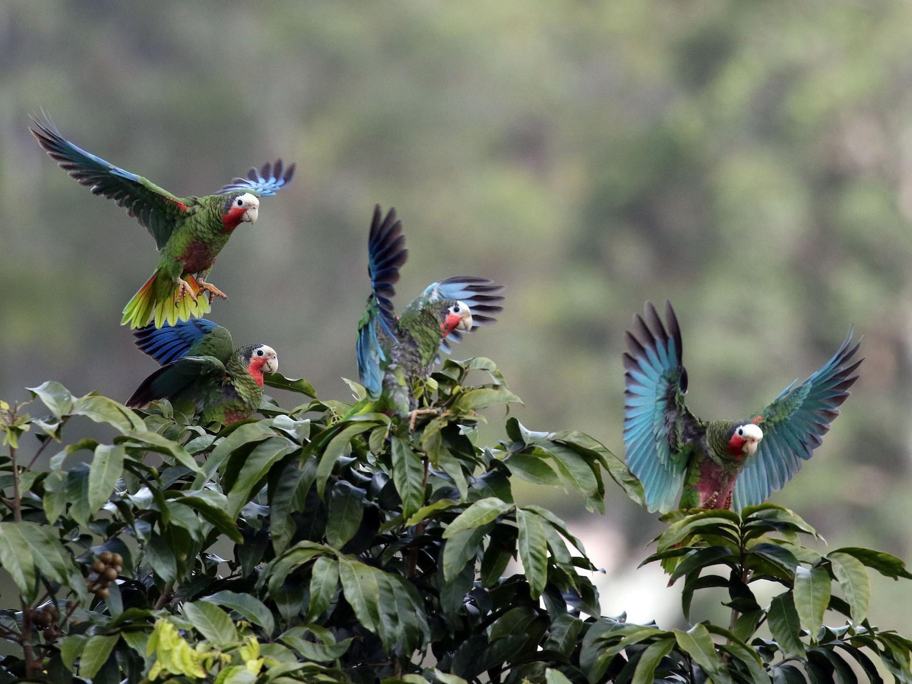 Cuban Parrot - Arturo Kirkconnell Jr
