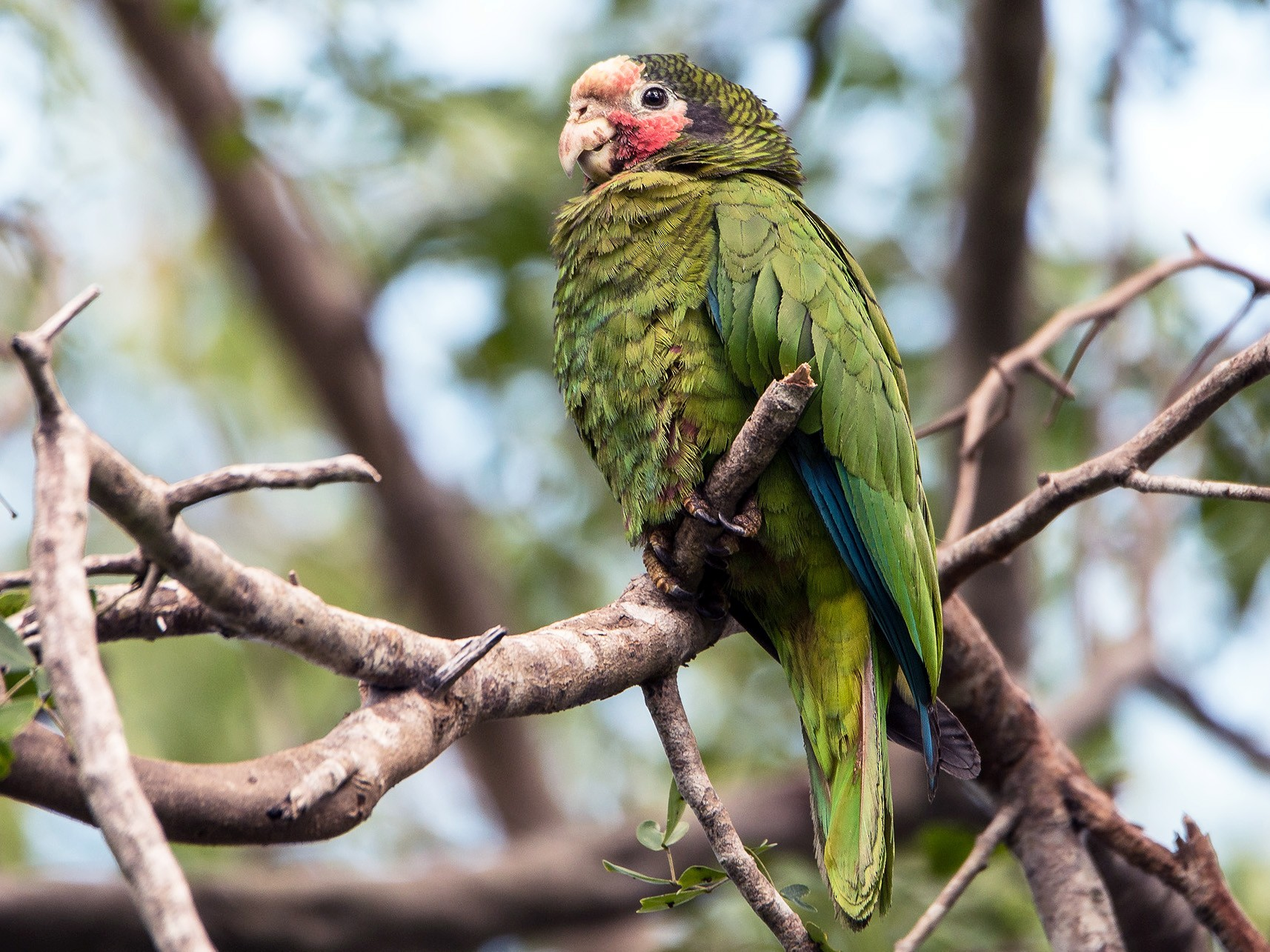 Cuban Parrot - Denny Swaby