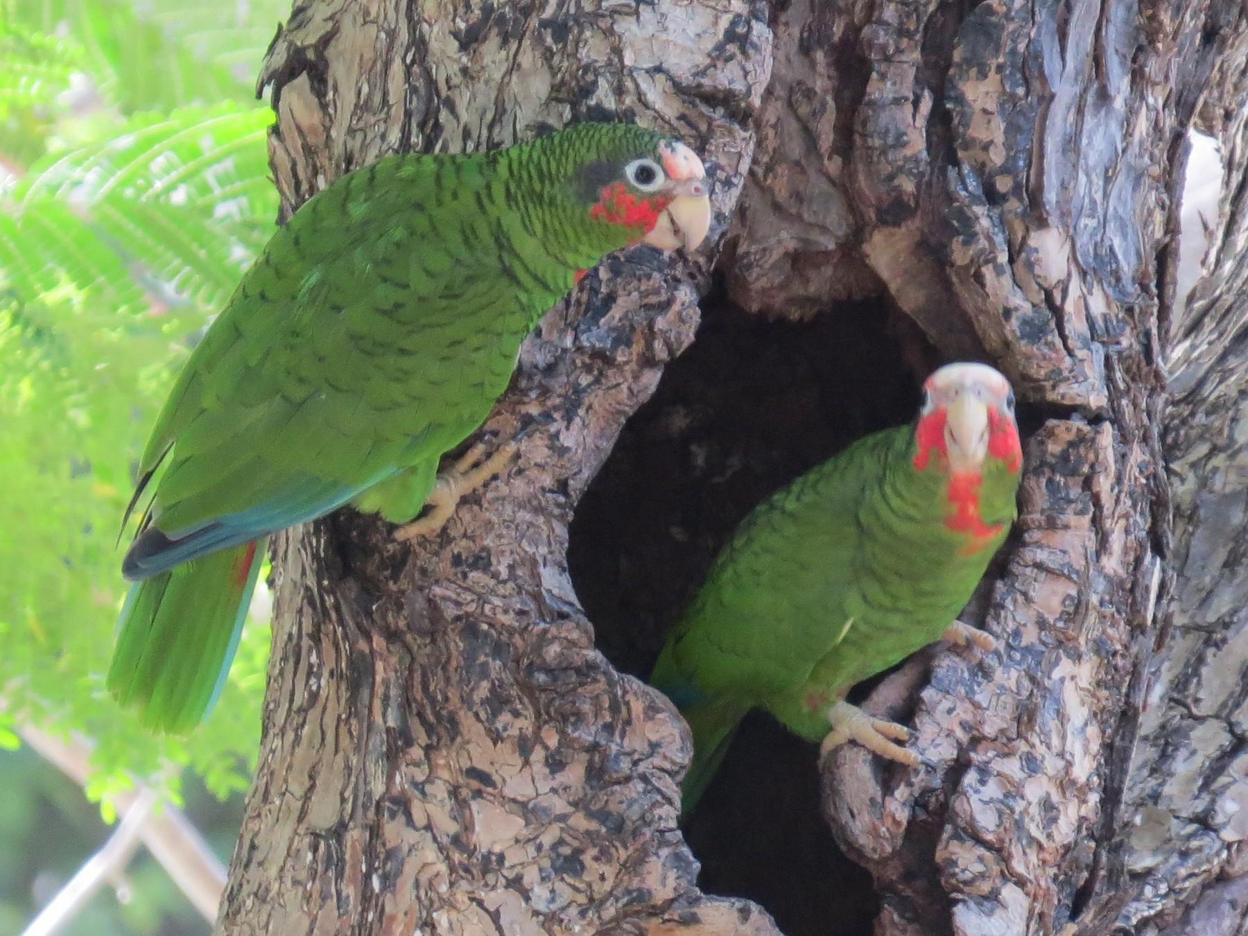 Cuban Parrot - Doryce Wheeler