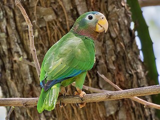 - Yellow-billed Parrot