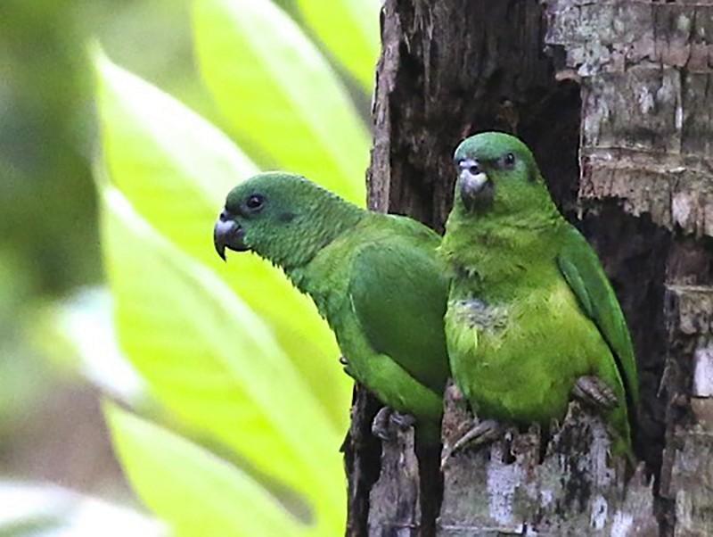 Black-billed Parrot - Knut Hansen