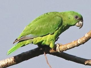 - Black-billed Parrot