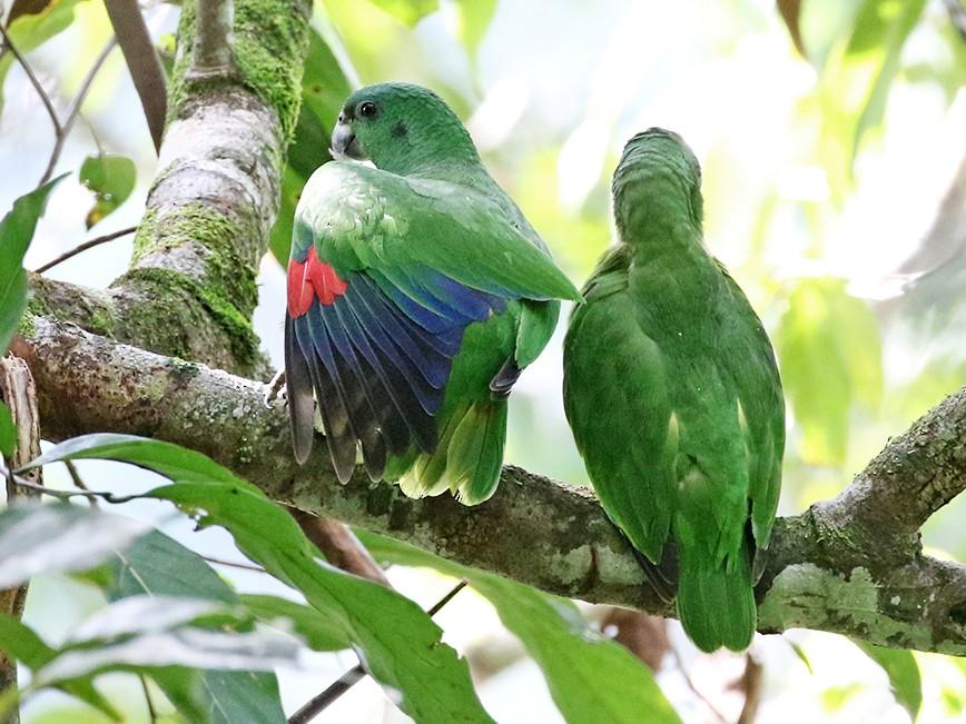 Black-billed Parrot - Charley Hesse https://www.schoolofbirding.com/