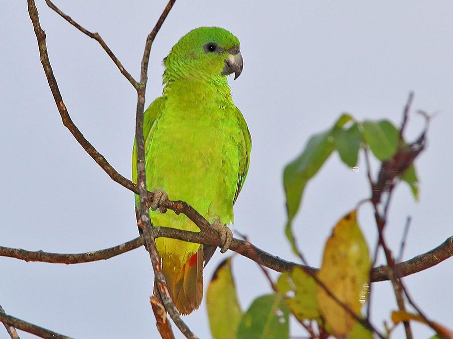Black-billed Parrot - Tim Avery