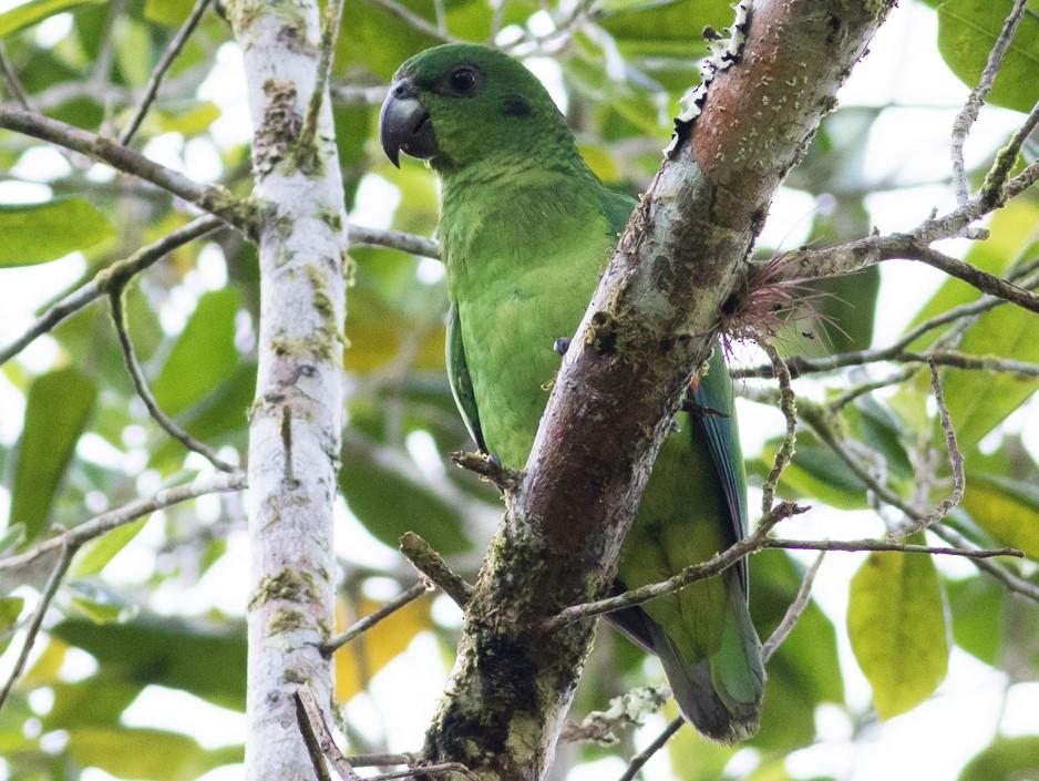 Black-billed Parrot - Tom Johnson