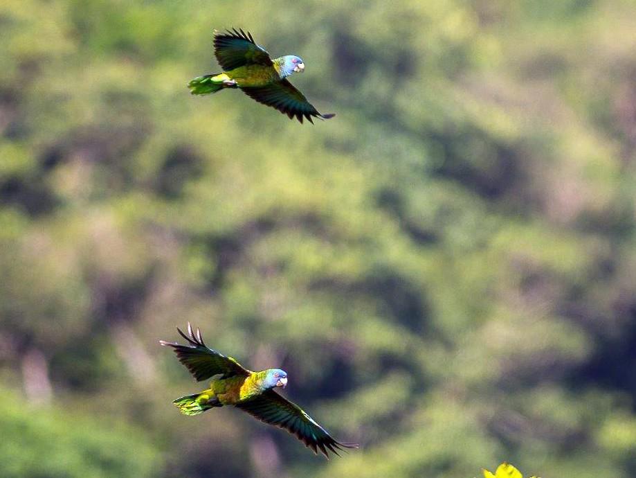 St. Lucia Parrot - Frantz Delcroix (Duzont)