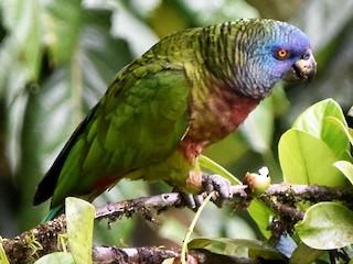 - St. Lucia Parrot
