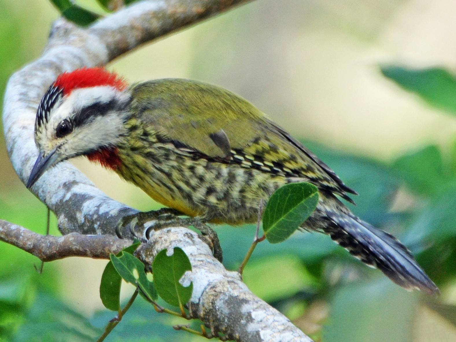 Cuban Green Woodpecker - Michael J Good