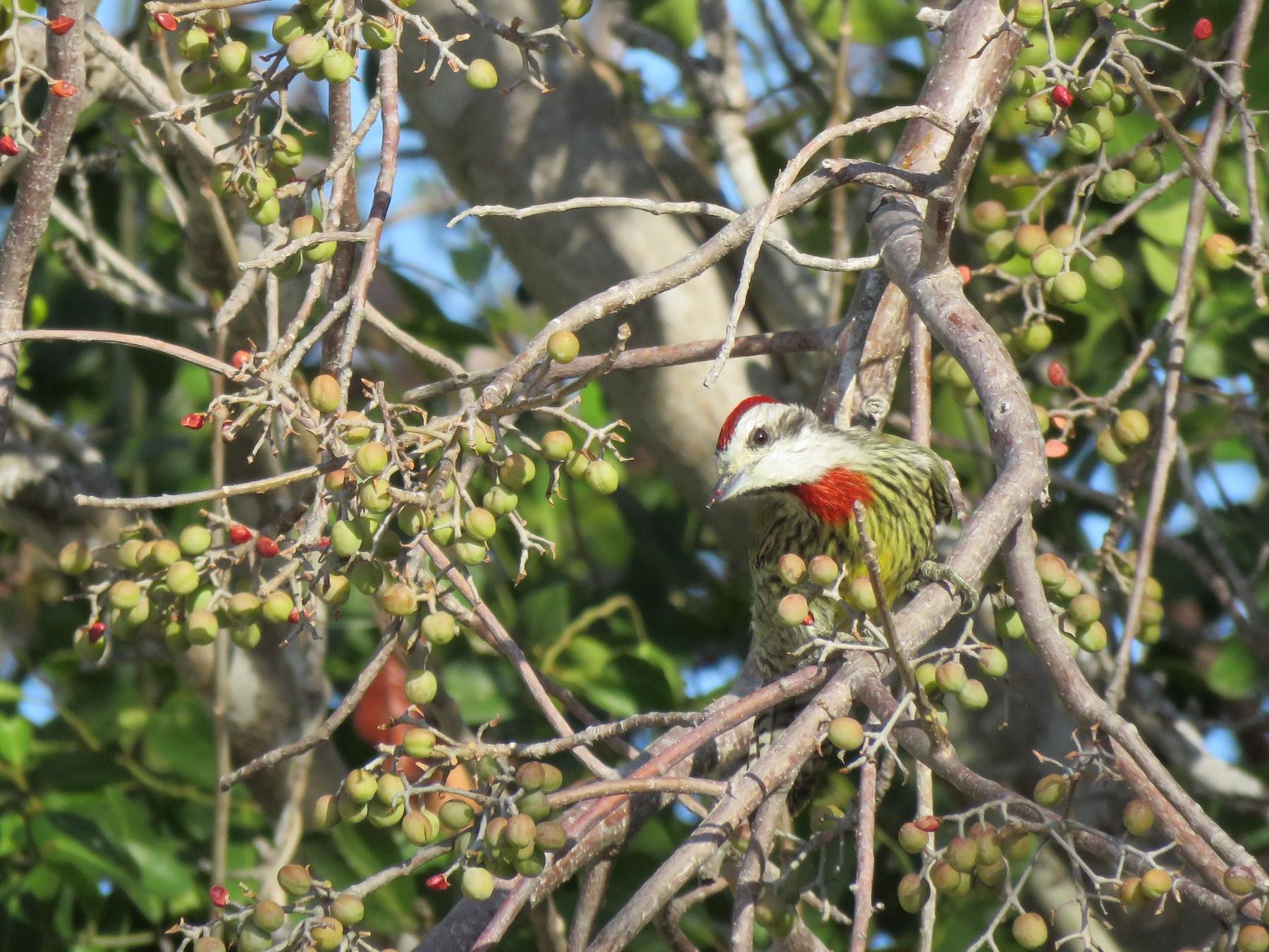 Cuban Green Woodpecker - Thomas Hinnebusch