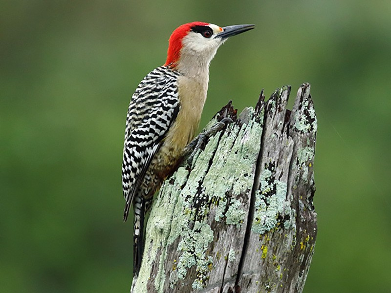 West Indian Woodpecker - Johan Chaves