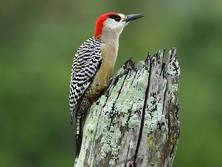 - West Indian Woodpecker