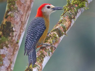 - Jamaican Woodpecker