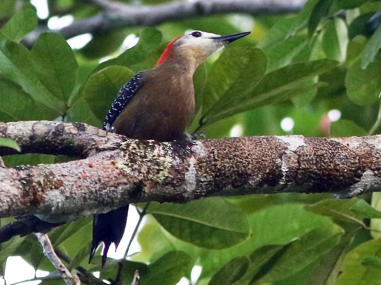Jamaican Woodpecker - Don Roberson
