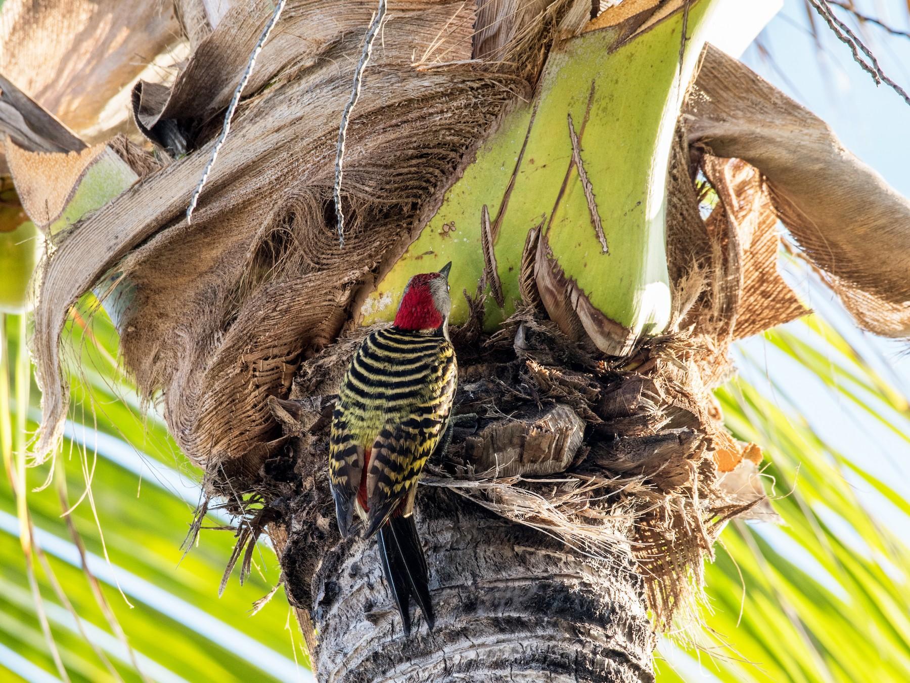 Hispaniolan Woodpecker - Hank Davis