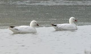 Ross's Goose, ML106678971