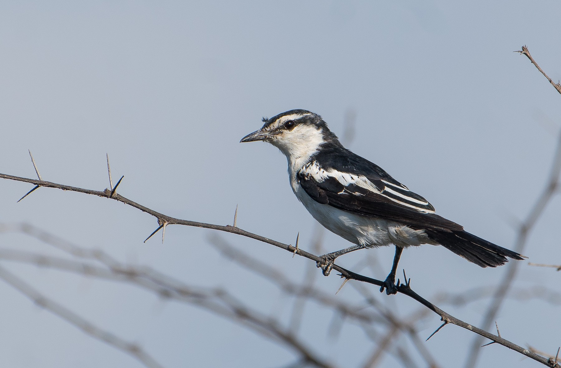 White-shouldered Triller - Bill Bacon