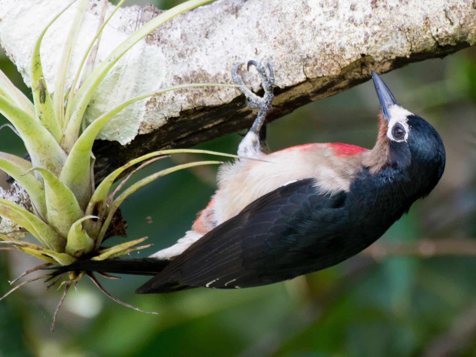 Puerto Rican Woodpecker - Marc Kramer