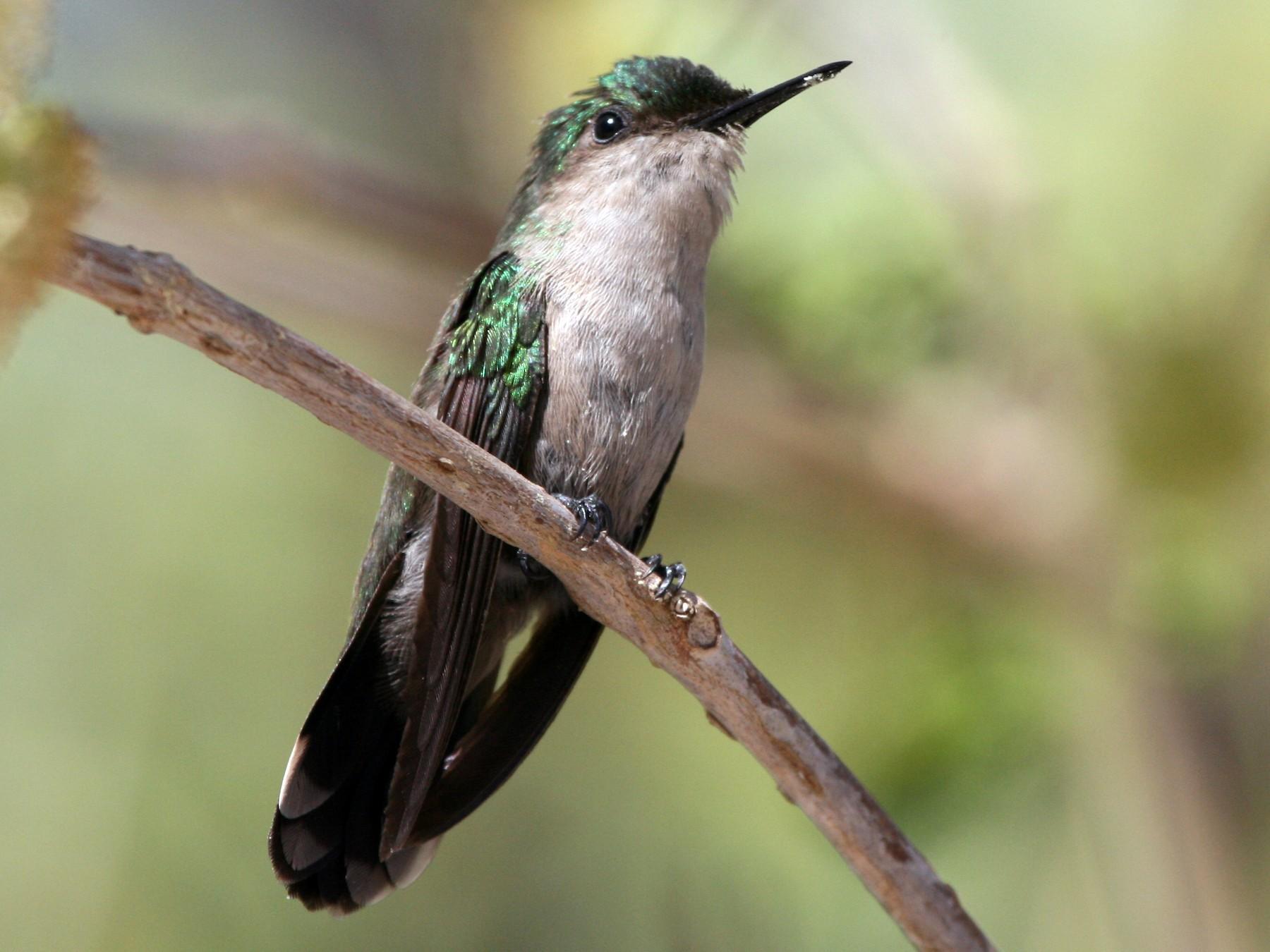 Antillean Crested Hummingbird - James (Jim) Holmes